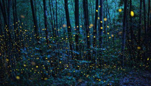 Foresta di lucciole
